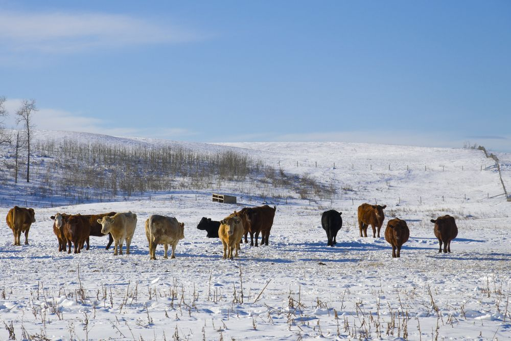 Livestock on the snow covered ground in Calgary, Alberta